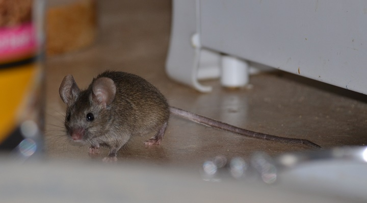 Auyentar ratones de tu casa castelog for Ahuyentar ratas jardin